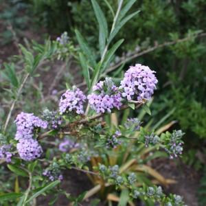 alternifolia