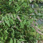 albiflora a